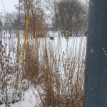 Image for the Tweet beginning: Big Bluestem and Indian grass