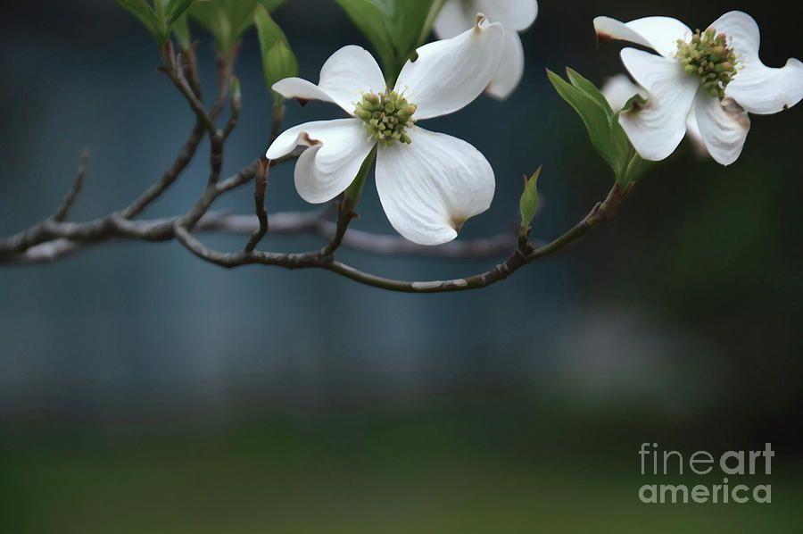 Dogwood In Blue #FloralPhotography #Tyler #Texas https://t.co/EXqiAPjaR6