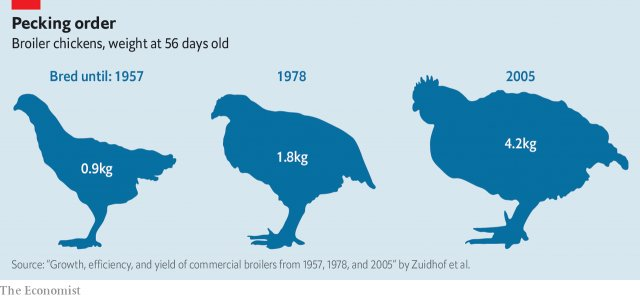 In 1957 56-days-old chickens weighed less than a kilogram. Their current counterparts weigh more than four times that https://t.co/NKv97Pp36d