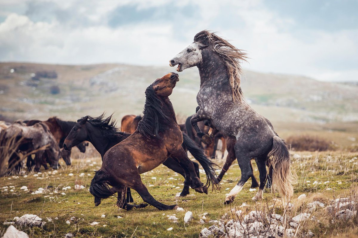 'The winner is the one who gets to bite the throat of the other - in this case it actually was the brown stallion, because his position was lower.' 📸 + caption by Carina Maiwald