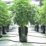 Image for the Tweet beginning: Global Marijuana Sales to Grow