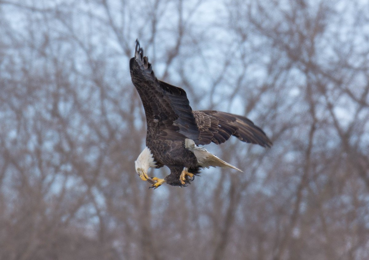 Alex Andersen sent us this pic of an eagle grabbing a bite near the Iowa River Power Restaurant in Coralville, Sunday. Sushi anyone?