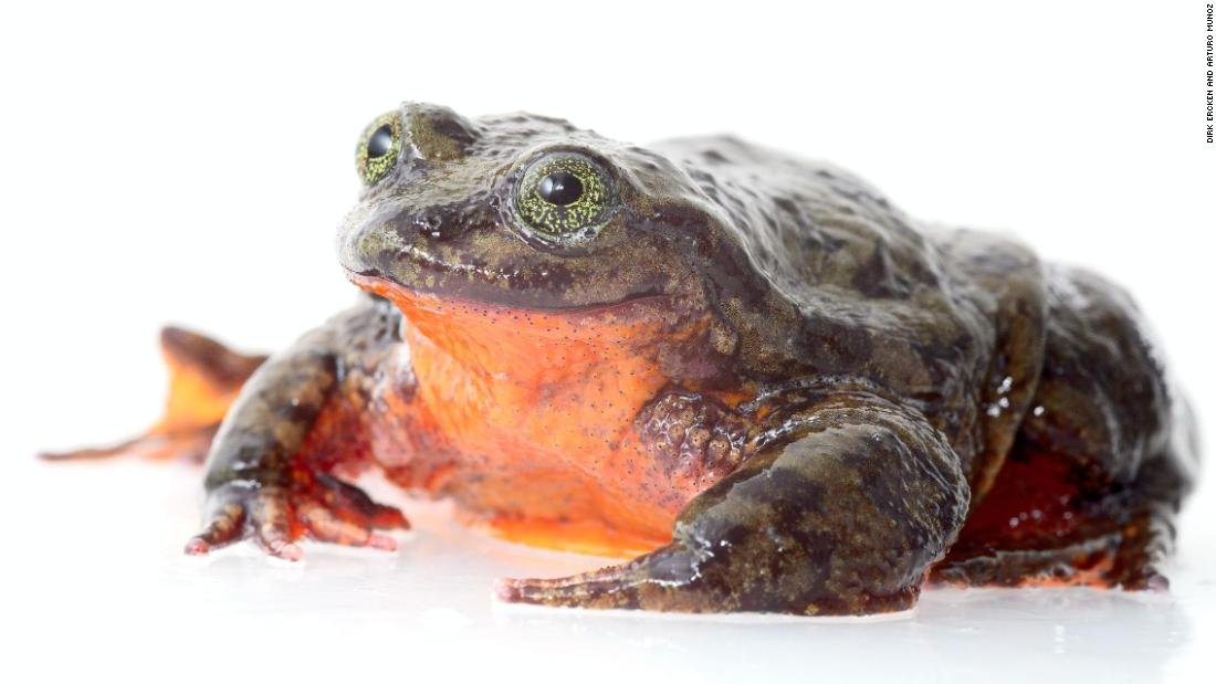 Romeo, the world's loneliest frog, has been alone and single for the last 10 years. But now, he may have finally found a Juliet that can save his species. They'll be set up on a blind date this Valentine's Day. https://t.co/rH7W7vGHYj
