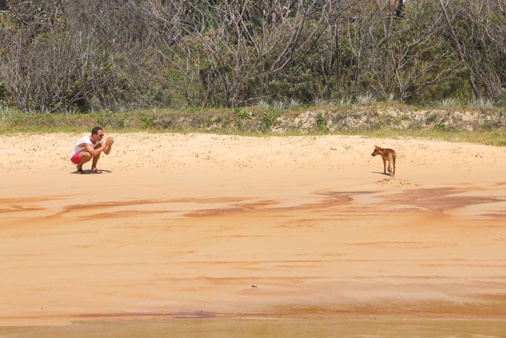 I've tweeted these before but here is an example of humans doing the wrong thing with #dingos on #FraserIsland. November last year this bloke walked about 200m away from his car by himself and crouched in front for a photo