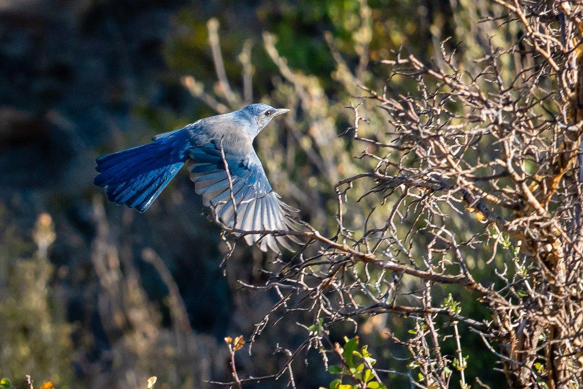 A #MountainBluebird flies by in #NavajoTerritory in NE #Arizona #photooftheday #travelphotography #travel #travelphotos #tourism #travelgram #trover #picoftheday #instatravel #traveling #mytravelgram #travelingram #igtravel #traveler #SonyAlpha #sonyalphagallery #birds #Navajo
