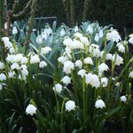 Image for the Tweet beginning: Snowdrop Month in Carlow, full