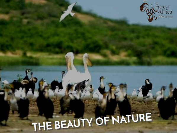 #BirdingSafaris in #Uganda - Come & enjoy the magnificent scenic beauty, multi-coloured birds and remarkable #wildlife in our #UgandaSafarisTours.  Call us at +255 784 162 038 and get the best experience. https://t.co/ePKSn2Y6Ii https://t.co/sXtrCyY6BO