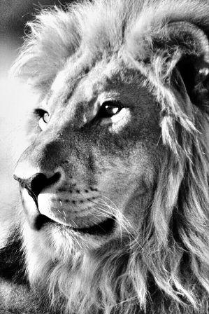 Io non ho paura di un esercito di leoni, se sono condotti da una pecora. Io temo un esercito di pecore, se sono condotte da un leone. A. Magno #LunedìLetterario @CasaLettori #motivational Foto