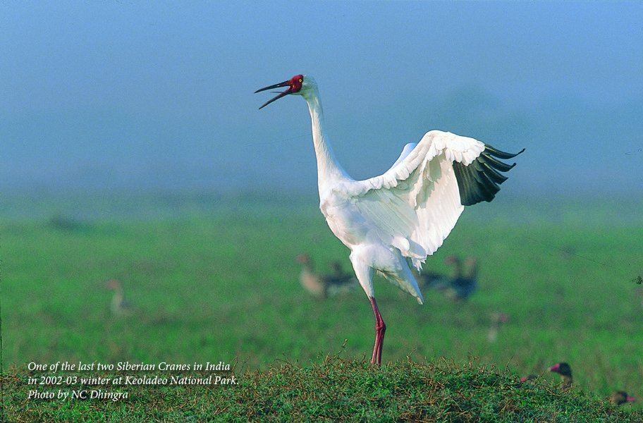 """...Our senses, restored, never to be the same, whisper to us. They existed. They existed. We can be. Be and be better. For they existed.""""  ~ #MayaAngelo #MLKWeekend #remember #siberiancrane #india"""