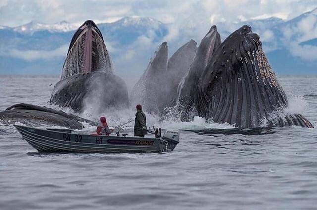 😲¡WOW!😲 En Alaska estos pescadores fueron sorprendidos por estas impresionantes ballenas que salieron a alimentarse 👏¡Increíble Verdad!👏 #Like y Comenta aquí 👇  #Naturaleza #VidaMarina #Ballenas 📷 vía @naturee @theocean Scott Methvin