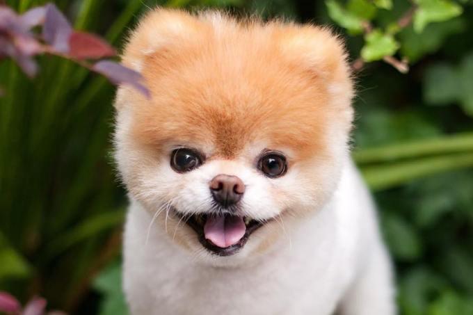 Boo, um dos cachorrinhos mais famosos da internet, morre aos 12 anos https://t.co/xegyqoIOGX