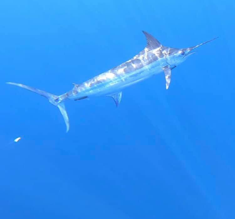 Los Suenos, CR - Spanish Fly released a Blue Marlin and a Sailfish.