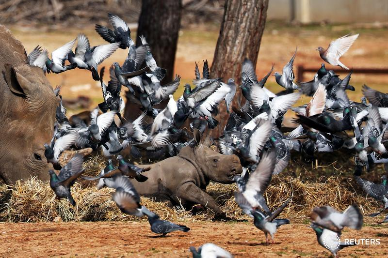 Pigeons fly as a white rhinoceros, named Karen Peles, stands next to her 3-week old calf at the Safari Zoo in Israel, and more photos of the day: http://reut.rs/2sFhW7O  📷 Corinna Kern
