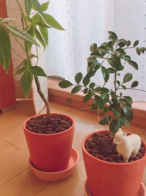 test ツイッターメディア - 早速植えた🌱  #シルクジャスミン #パキラ #ダイソー #観葉植物 #ダイソーの観葉植物 https://t.co/wNwCE3XOi7
