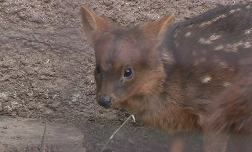BABY HAECHAN: K-Pop fans mobilized to raise $2,000 in 3 hours for the right to name this pudu born at the @LAZoo after #NCT member Haechan. @NCTsmtown  https://t.co/ObYSg3K92s