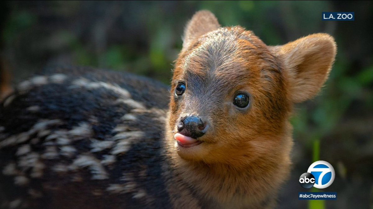 TOO CUTE: Meet Haechan, a 1-month-old pudu at @LAZoo, named by fans of #KPop band #NCT https://t.co/LWVcUWvESC ♥