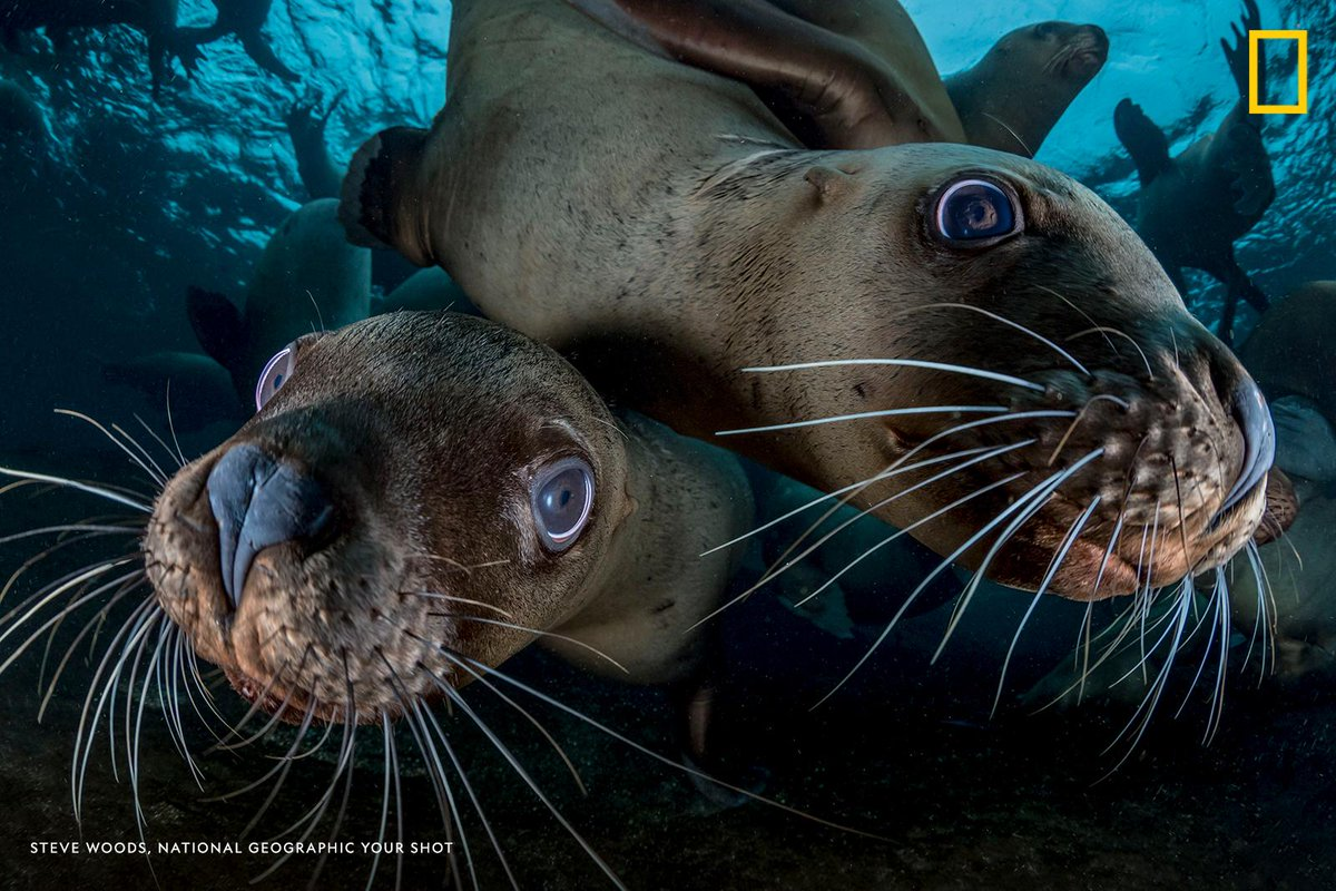 #YourShotPhotographer Steve Woods captured this moment of two Steller sea lions taking a closer look at his camera lens. He was diving off Vancouver Island, British Columbia, Canada, when he and a group of divers happened upon the underwater wildlife.  https://t.co/cDDKwoEh7p