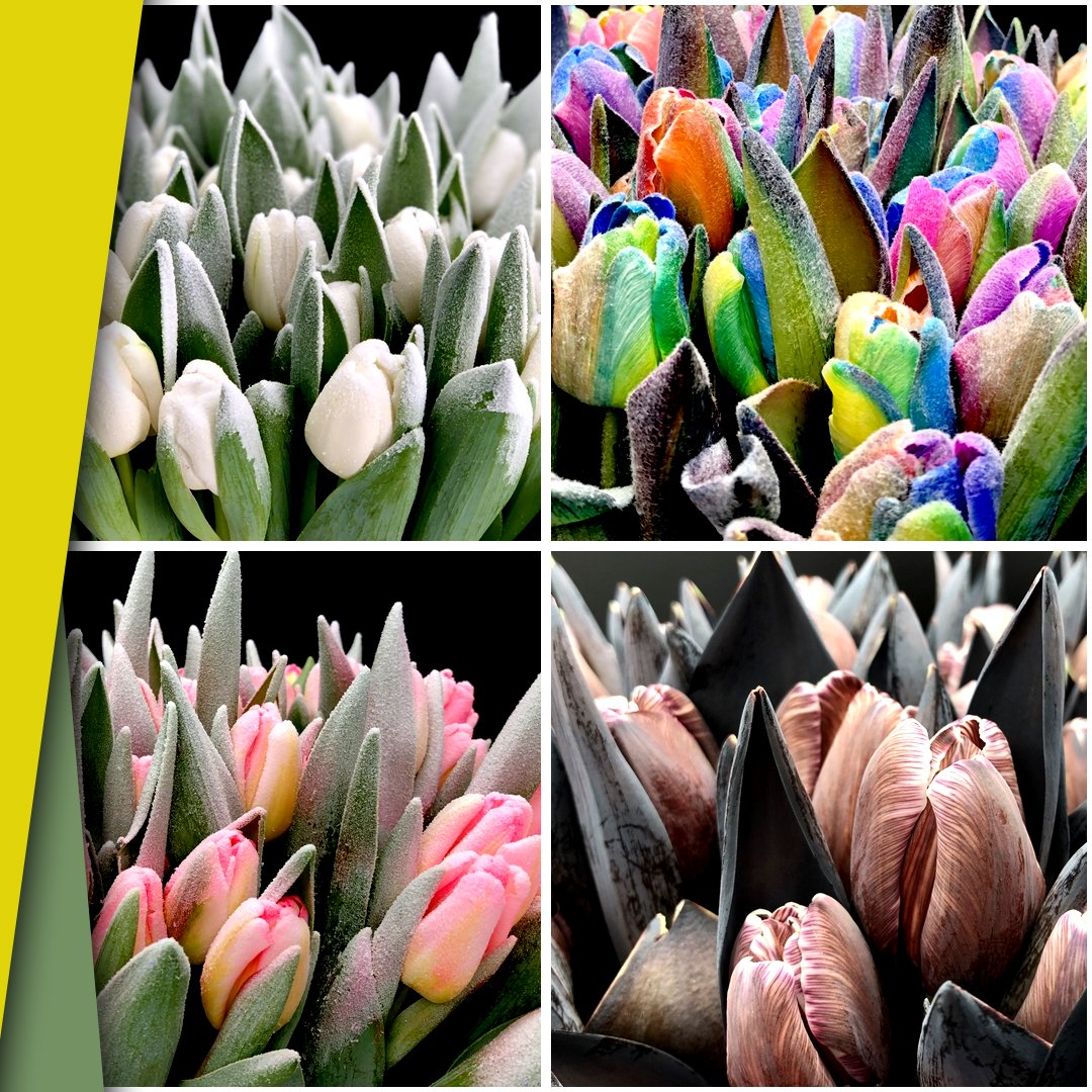 These Are Our Tulips Today >> Vanvliet Flowergroup On Twitter When Looking For The Flower Of The