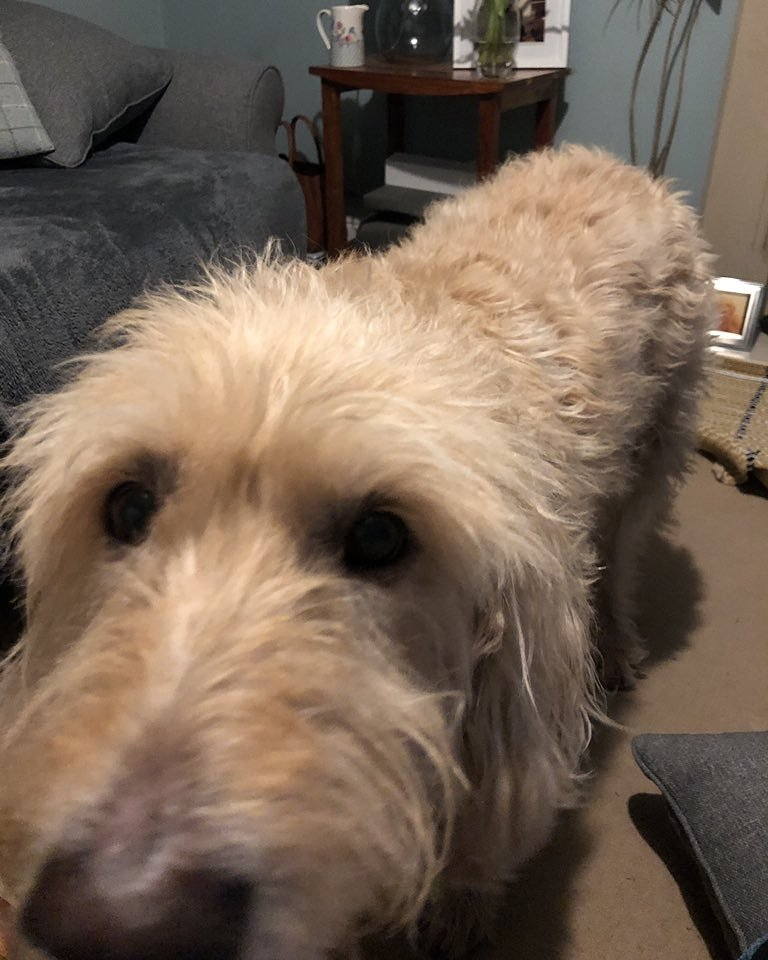 labradoodles hashtag on Twitter