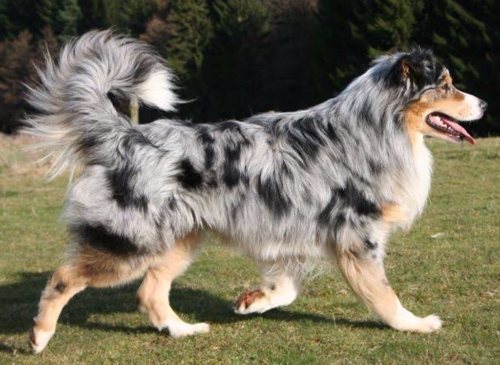 Pictures of australian shepherds with tails