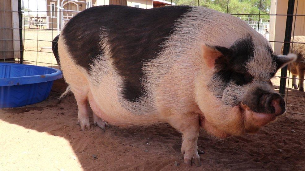 фото большая мини свинка артист