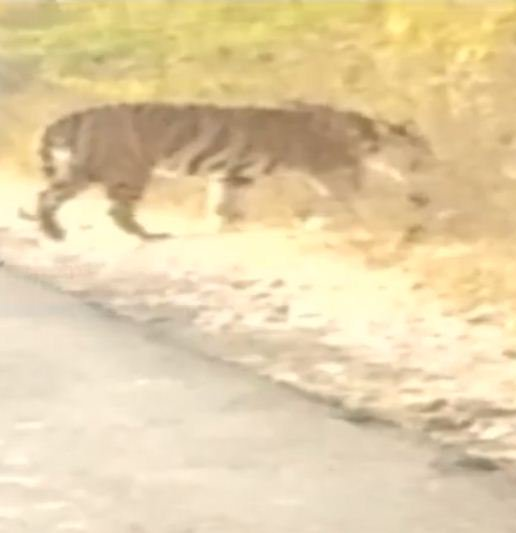Photo of Tiger and the place look real but no concrete evidence of its presence could be found so far: DCF Parmar