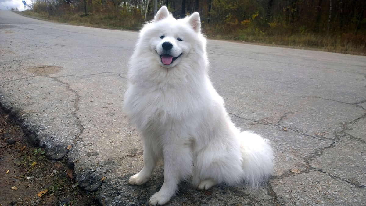 Wikipedia On Twitter Because Of Their Naturally Friendly Dispositions Samoyeds Usually Make For Terrible Guard Dogs They Don T Attack Threats Just Kind Of Smile And Bark At Them Https T Co 4flsqphdlg