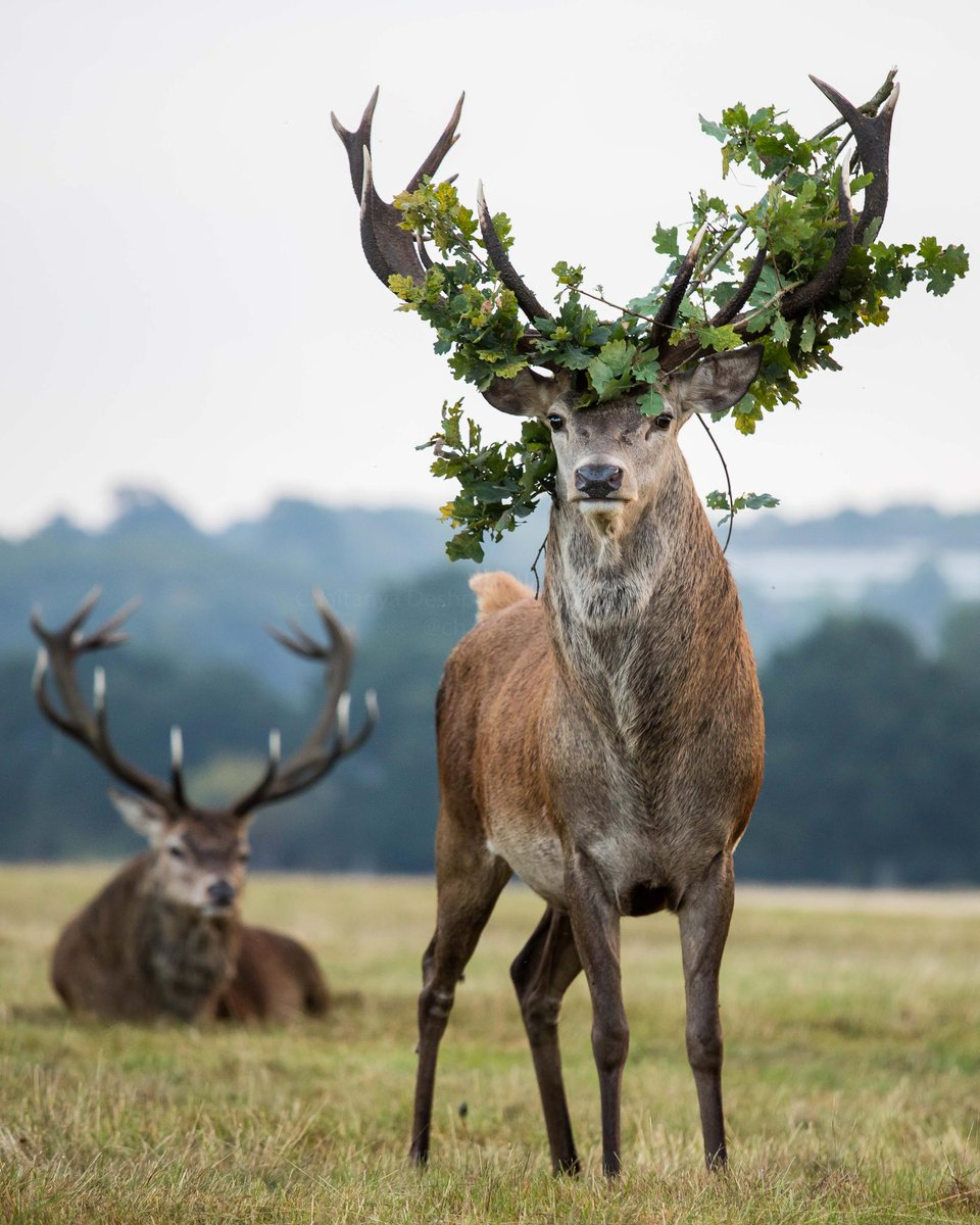 """""""Some believe that the itching from the velvet falling away makes the deer rub their antlers on trees or in foliage which is how some of it will often get stuck in their antlers."""" 📸 by Chaitanya Deshpande"""