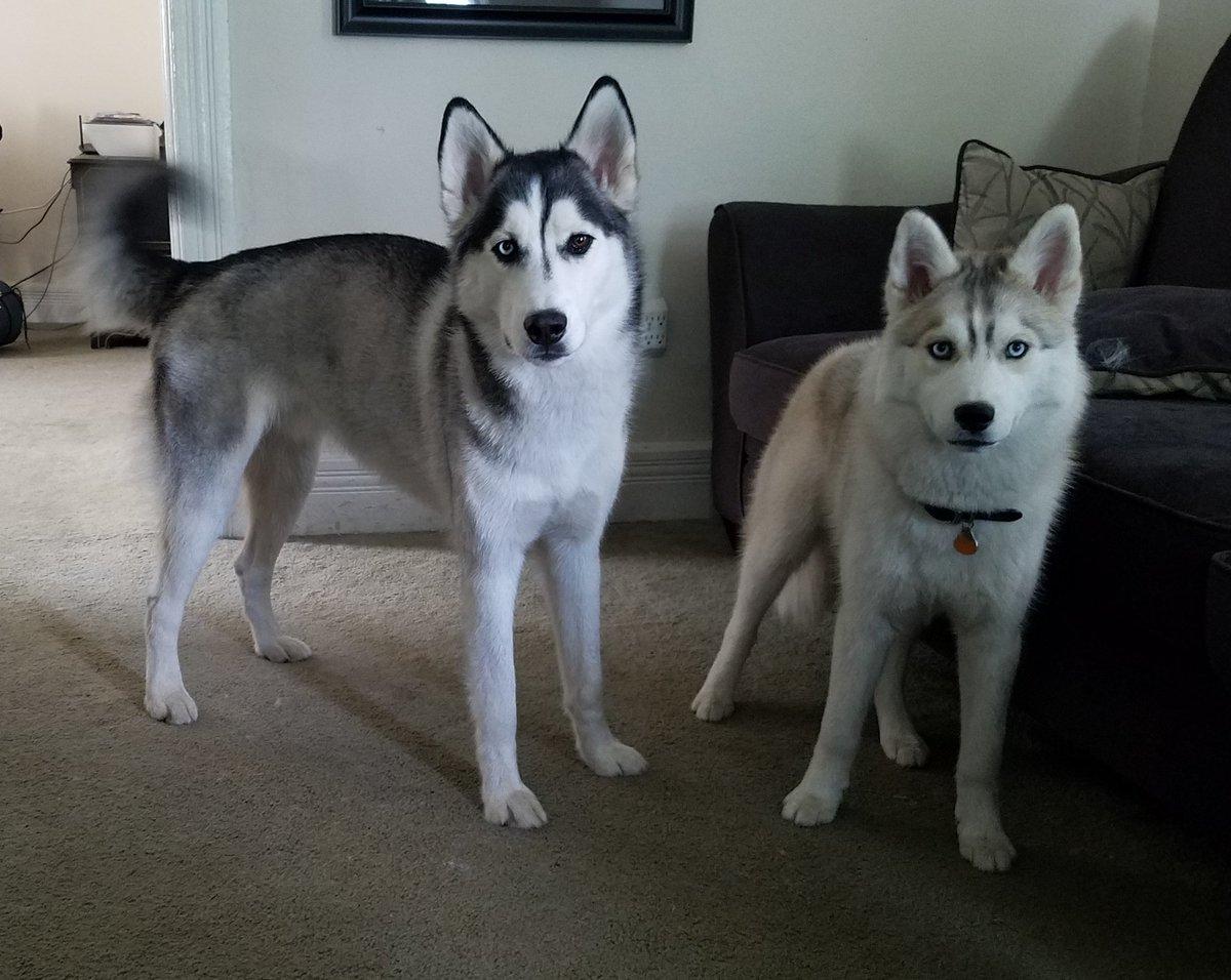 693c23d795 Replies retweets likes jpg 1200x956 Wikipedia siberian white grey cats hd