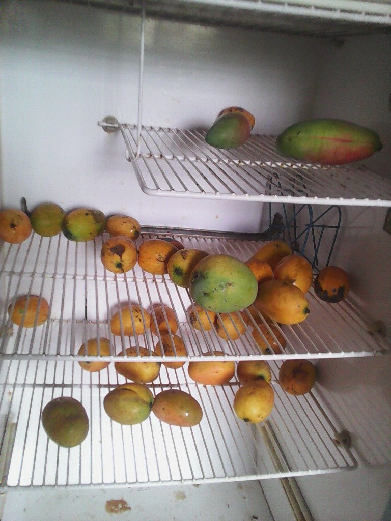 Fridge full of mangoes