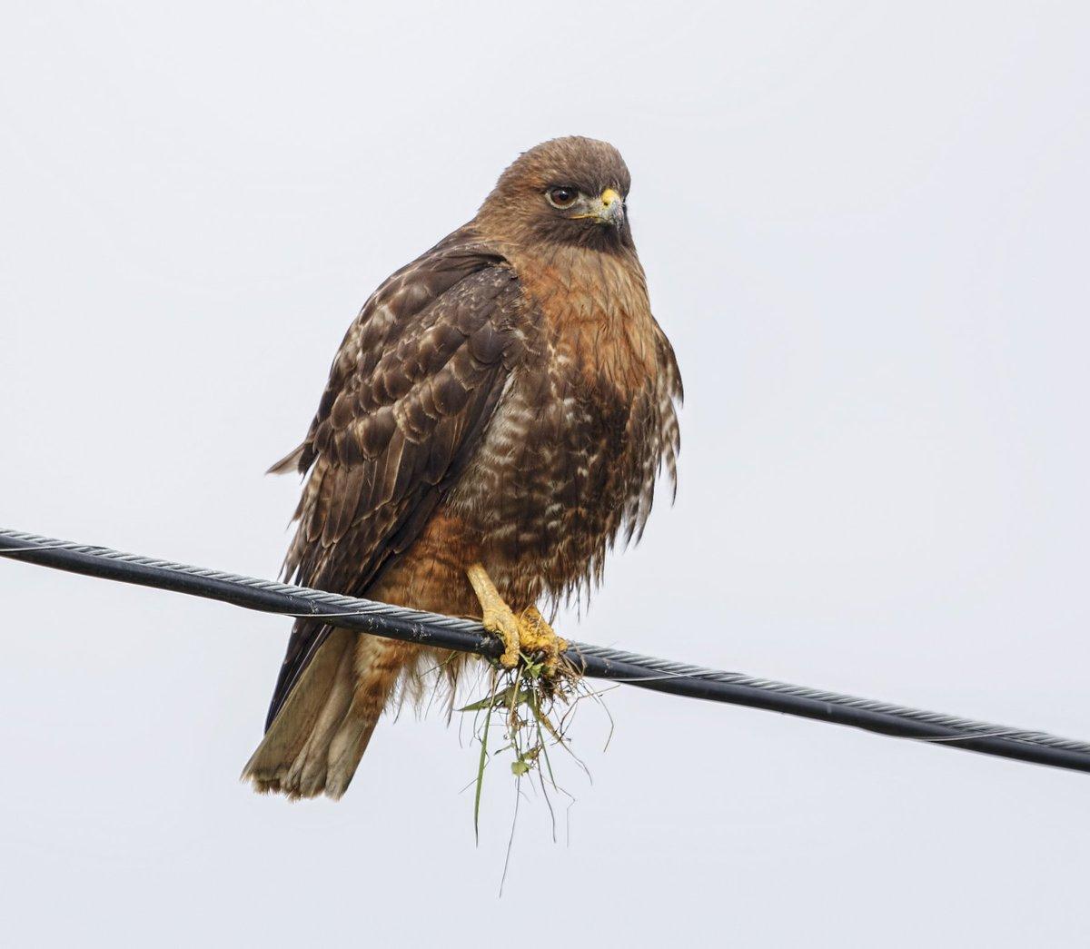 Manhattan Bird Alert On Twitter Harlan S Red Tailed Hawk Washington State Birdcp Birdingbobnyc Https T Co Bgpb1is44v