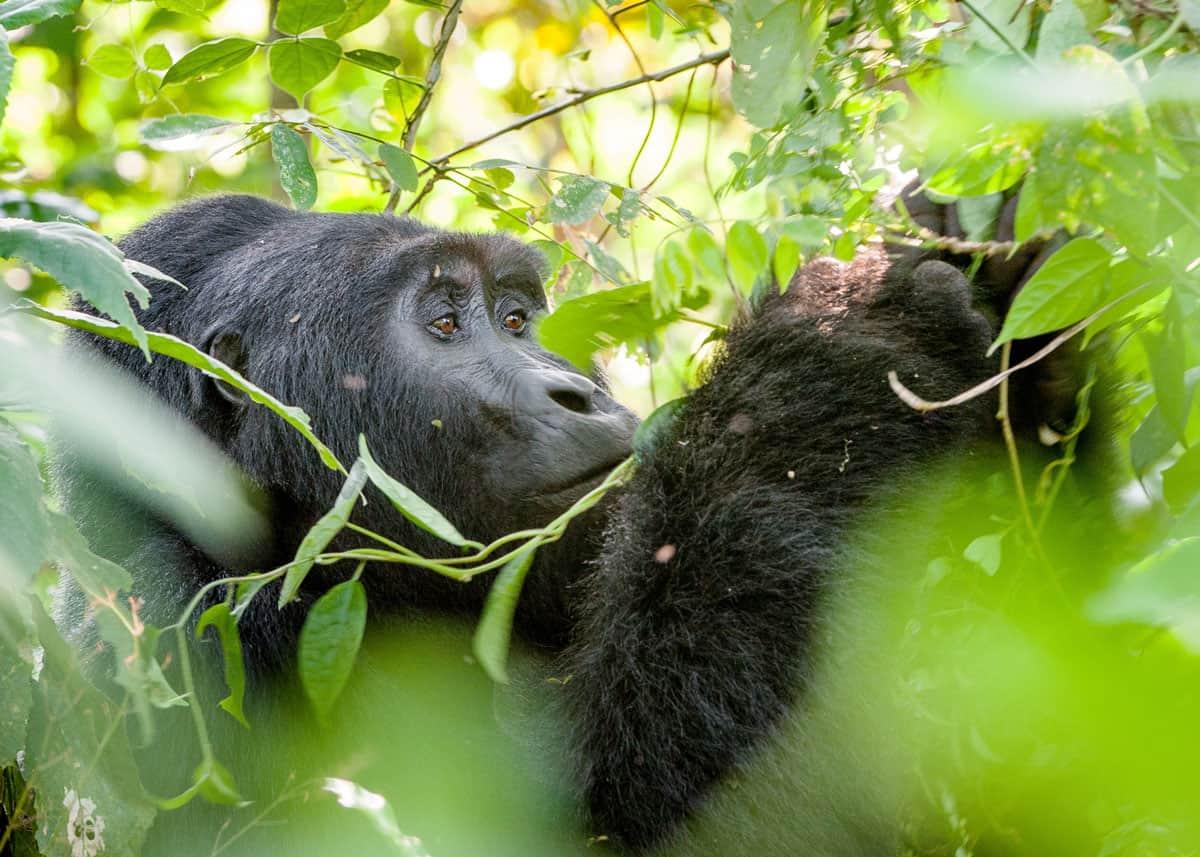 More than half of the orilla population is found in Uganda in Mgahinga Gorilla National Park  #travellife #uganda #rwanda #gorilla #eastafrica #gorillas #gorillagang #africa #travel #exploringtheglobe #adventure #lekkatravel #worlderlust #fantasticview #thisisafrica #wildlifepic.twitter.com/x4m2BnAbhL