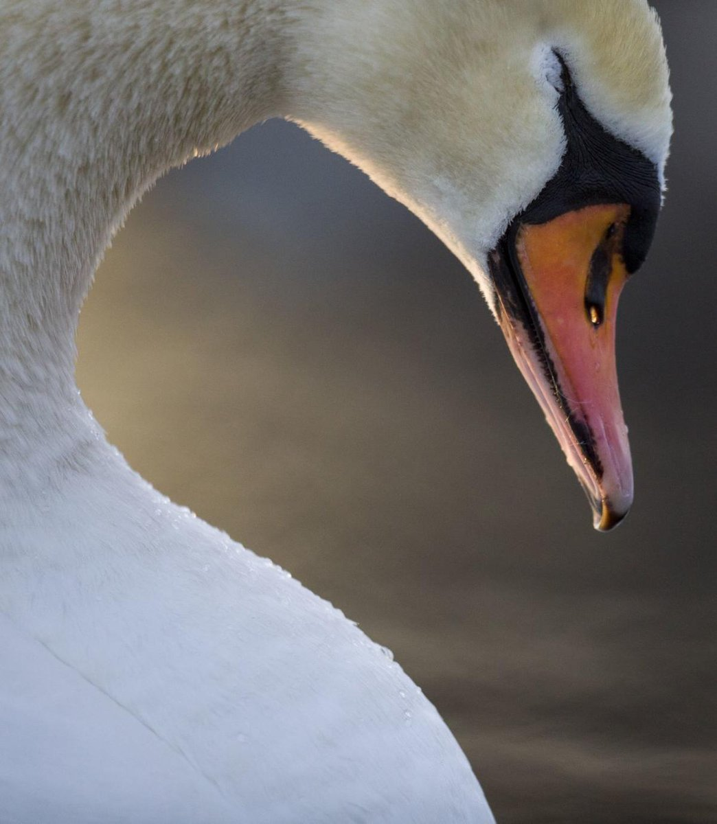 Swans Have Come Back >> St Louis Post Dispatch On Twitter Via Valeriehahn A Swan Swat