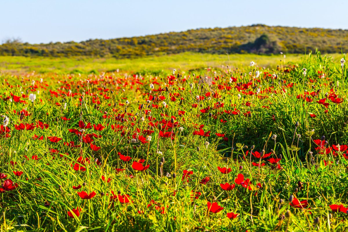 Every February, #Israel's deserts bloom to reveal red poppies and wild #flowers. Called Darom Adom (The Red South), it's a must-see spectacle. 🌹👀 #VisitIsrael