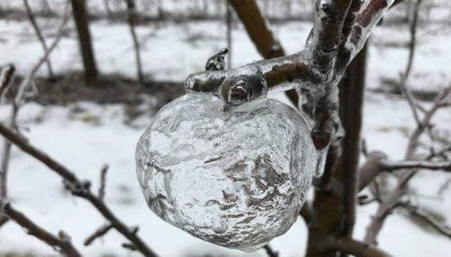 ミシガン州でできた「ゴースト・アップル」。これは、ダメになっているがまだ地面に落ちるていないりんごを、冷たい雨が氷となってコーティングし、りんごは腐ってドロドロになり落ちて、りんごの形をした氷が木についたまま残るめずらしい現象だそう。