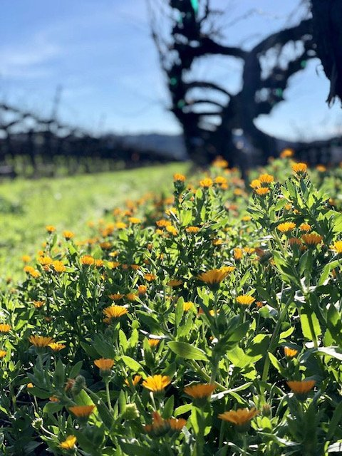 Winter showers bring spring flowers. So far we have accumulated 13.9'' of rain, and we anticipate more rain within the days and weeks to come. We are optimistic about having a good water supply for the 2019 growing season.  #experiencetolosa #ednavalley #tolosawinery #slowine