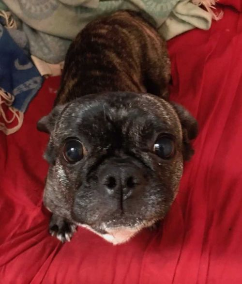 Find A Buddy Nyc On Twitter Bonnie Is A Female French Bulldogpug