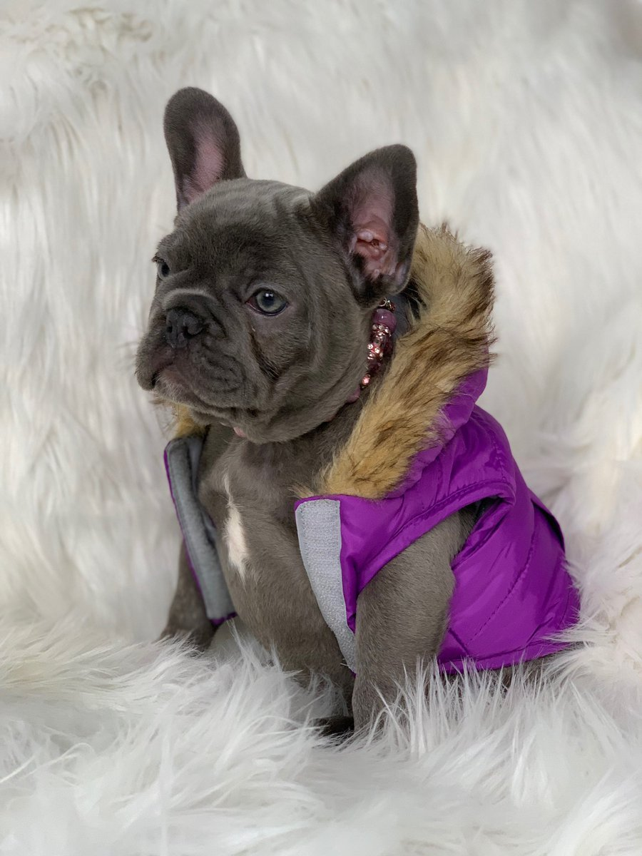 Burrrr it's cold  outside  @oakleybluefrenchie #bluefrenchie #bluefrenchbulldog #frenchie #frenchiesofinstagram #frenchies #frenchbulldog #frenchbulldogs #puppy #puppies #puppiesofinstagram #dog #dogsofinstagram #dogs #fashion #fashionnova #influencer #cold #coldweather<br>http://pic.twitter.com/HsZSvbLlox