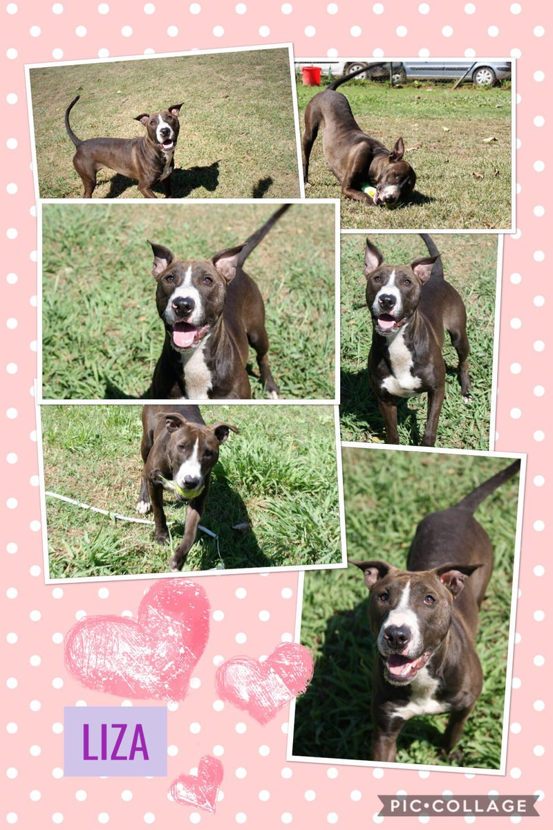 LIZA +  = FUN!  Young dog with zest for life just wants to play. Good girl gets on well with other dogs, after playing with her ball would be more than happy to cuddle up with her new family.    http://www. spanishstraydogs.org.uk/liza  &nbsp;    Adoptions@spanishstraydogs.org  #AdoptDontShop #BullTerrier <br>http://pic.twitter.com/tX6qOAb1jX