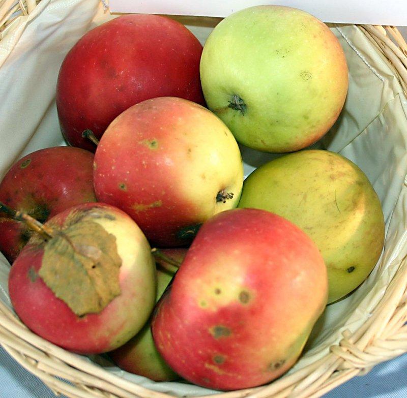 картинки сорта яблок джонатан все потому