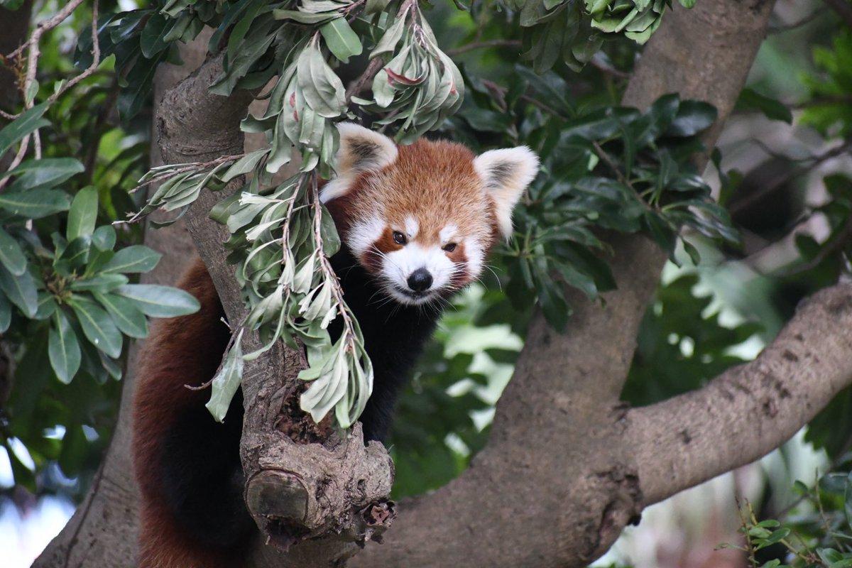 レッサーパンダ て で 飼育 は 動物園 し を ニシ 唯一 日本 いる