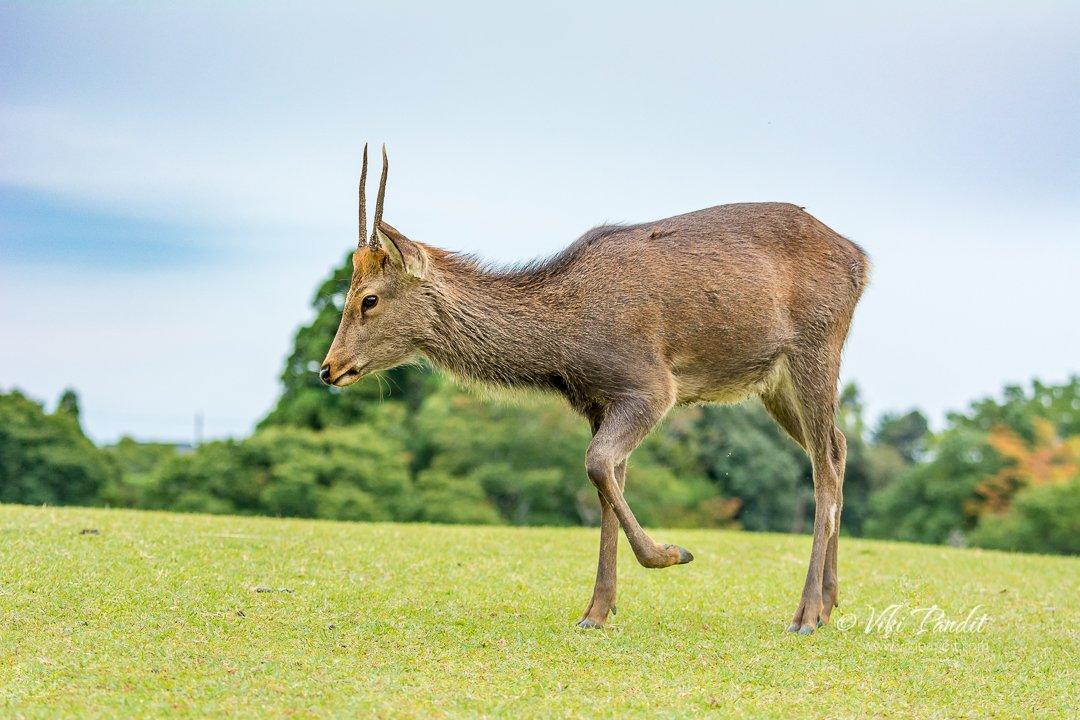 The deer at Nara Park #wanderlust #neverstopexploring #travelblogger #mybeautifulEarth #ontheRoadNikon #JustBackFrom  #FromWhereIStand #natgeo #lonelyplanet #japan #incredibleJapan #discoverJapan #nara #deer #tokyocameraclubpic.twitter.com/x5eH8vHpBh