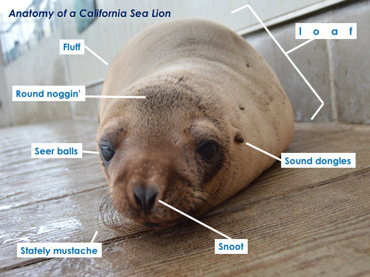 Official anatomy of a loaf. (Also known as Ron, the California Sea Lion). #UnscienceAnAnimal