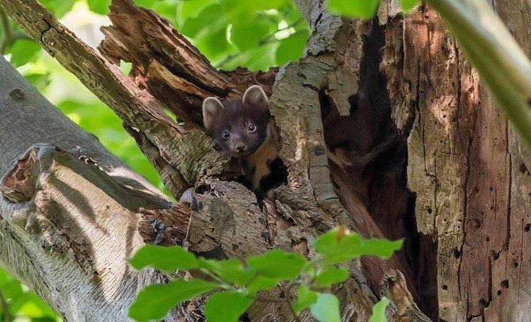 Did you know #PineMartens live alone, only coming together to breed in summer? They like to rest and breed above ground, so create their dens in natural tree cavities – making #AncientWoodland an ideal habitat woodlandtru.st/8EDRY #Winterwatch @BBCSpringwatch