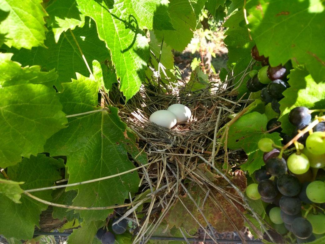 A ponerle huevo a la vendimia 19! #OrganicWine