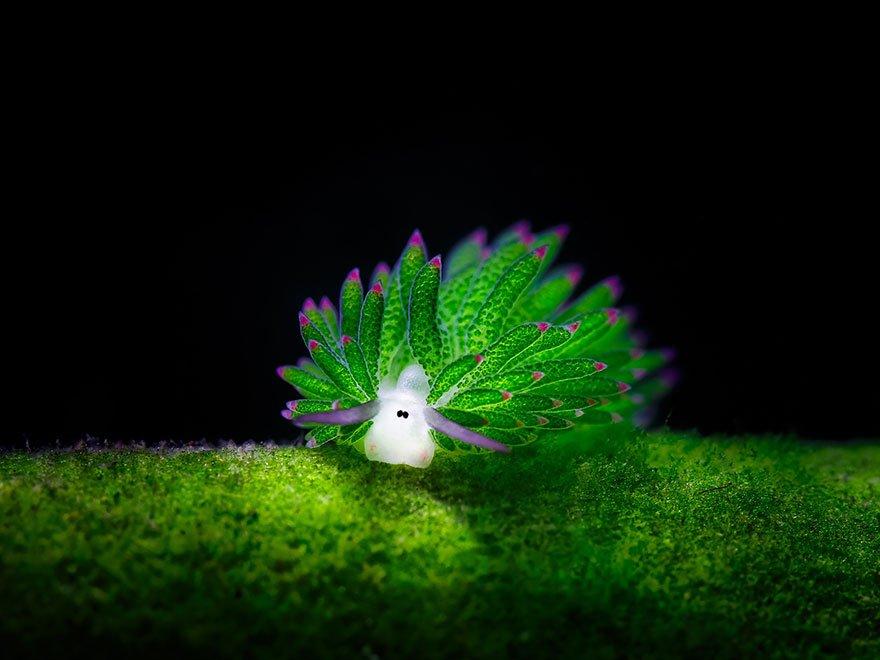 「テングモウミウシ(Costasiella Kuroshimae)」。日本の沖縄などに生息しています。藻から葉緑体を取り入れて光合成する能力を持っています。「海の羊」「葉の羊」の異名をとり、体長は5mmほどで、不思議で可愛らしい姿をしています。インドネシアやフィリピンなどの温かい海に暮らしています。