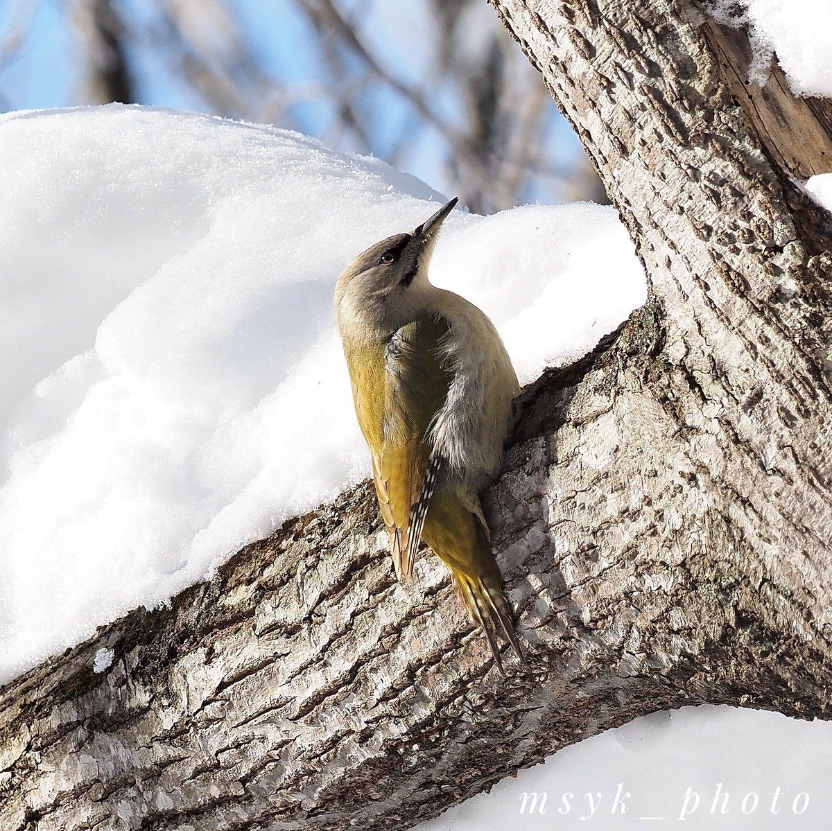 #北海道 #ヤマゲラ #greyheadedwoodpecker pic.twitter.com/aLSvUY0oNR