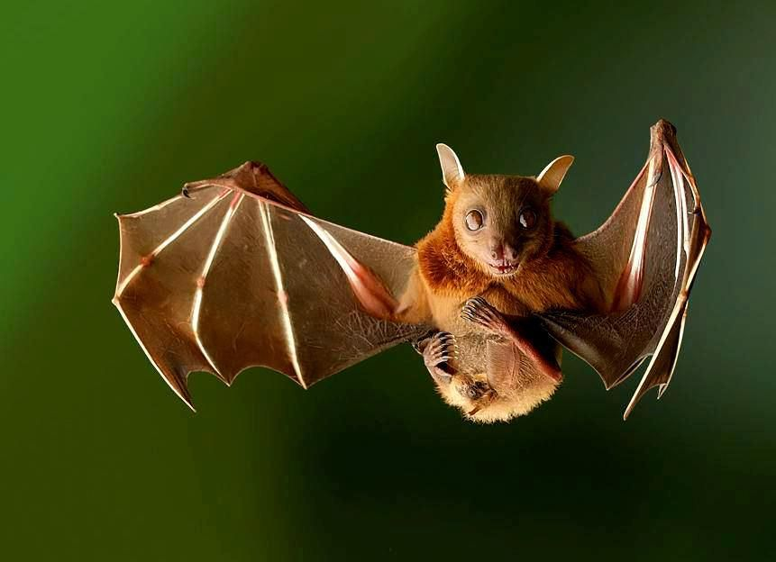 BAT #219 The dayak fruit bat (Dyacopterus spadiceus) is a near threatened species from Southeast Asia.  (Photo: Tim Laman) <br>http://pic.twitter.com/PC5arLiDLj