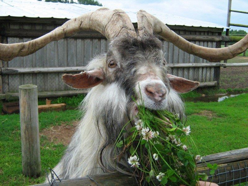 Прикольные картинки с козой и овцой, поздравление днем рождения