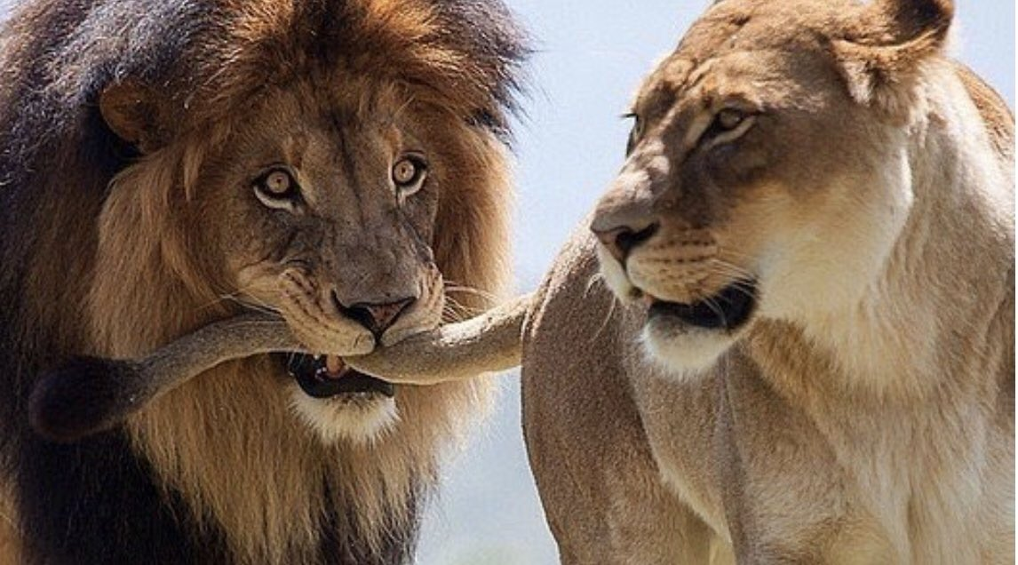 Приколы картинки лев и львица, мультфильмов